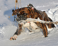 Porky playing in the snow at. Darcy McKeough Floodway, Sombra, Ontario