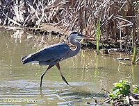0829-0903  Great Blue Heron in Wading in Marsh, Ardea herodias © David Kuhn/Dwight Kuhn Photography