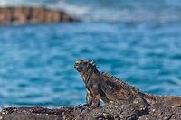 Marine iguana, James Bay, Stantiago Island, Galapagos Islands, Ecuador.