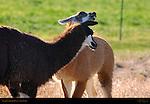 Llama Courtship Ritual, The Acknowledgement, Loa, Utah