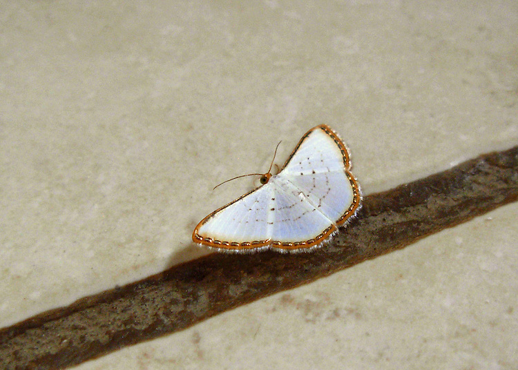 Rarely photographed, this white moth with wings fringed in rust and irridencent gold, bead-like bars sits on a beige tile floor with its wings spread and rust colored antena apparent and shadowed. Markings on white wings are dotted with rust enhancing the scalloped edge of the moth. It took hours of searching to identify. It has no common name.