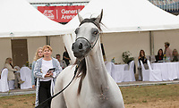 White Arabian Yearling Filley with dark mane, at the Intercup Prague, international Arab horse Show. Looking at Camera, judges and spectators in the background