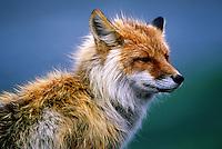 Profile portrait of a Red fox. Alaska.