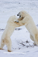 01874-11411 Polar Bears (Ursus maritimus) sparring, Churchill Wildlife Management Area MB