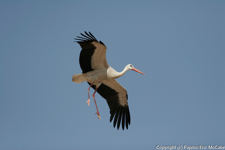 White Stork, Ciconia ciconia, in flight, Salalah waste disposal site Oman Arabia flying against blue sky coming into land. White Stork.