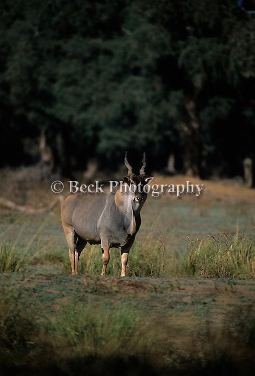 A horned animal