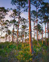 Everglades National Park, FL: Forest hammock of slash pine (Pinus elliottii) and saw palmetto (Serenoa repens)