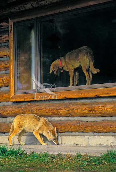 COYOTE looking for food scraps around house while pet dog watches helplessly from window. Wild & Domestic. Rocky Mountains. (Canis latrans).