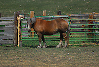Draft Horse in a corral.