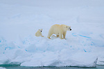 A polar bear with her cub on the pack ice in Svalbard, Norway