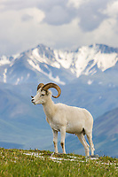Dall sheep ram, Alaska Range, Denali National Park, Interior, Alaska.