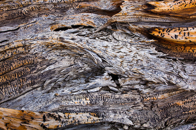 Patterns and texture of a burned section of a fallen Great Basin Bristlecone Pine (Pinus longaeva) tree. Grow between 9,800 and 11,000 feet (3000-3400 m) above sea level in xeric alpine conditions in southwest US; Utah, Nevada and California. Grows to 16-49 ft (5 to 15 m) tall w/ trunk diameter of 8 ft 2 in to 11 ft 10 in (2.5 to 3.6 m). Species on International Union for Conservation of Nature (IUCN) red list. Protected within the Inyo National Forest. Among White Mountain specimens, oldest trees found on north-facing slopes, with an average of 2,000 years, as compared to the 1,000 year average on the southern slopes. The climate and the durability of their wood can preserve them long after death, with dead trees as old as 7,000 years persisting next to live ones. Leaves show the longest persistence of any plant, with some remaining green for 45 years. Ancient Bristlecone Pine Forest, Inyo County, Inyo National Forest, White Mountains, CA.