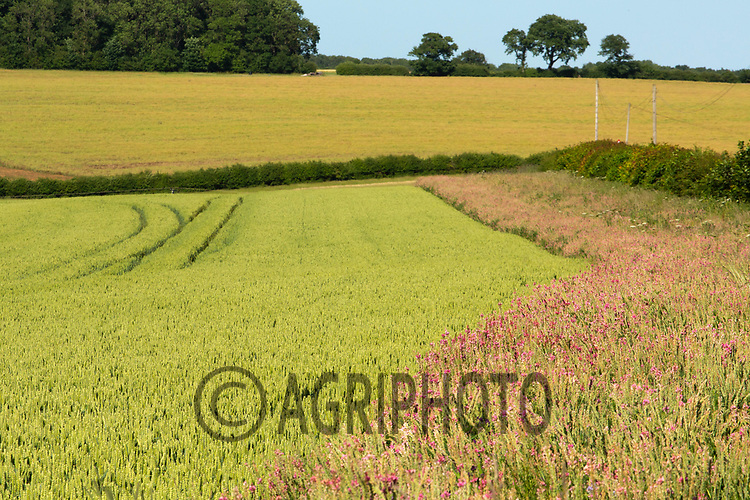 22.6.2020 Field margin in Rutland<br /> ©Tim Scrivener Photographer 07850 303986<br />      ....Covering Agriculture In The UK.