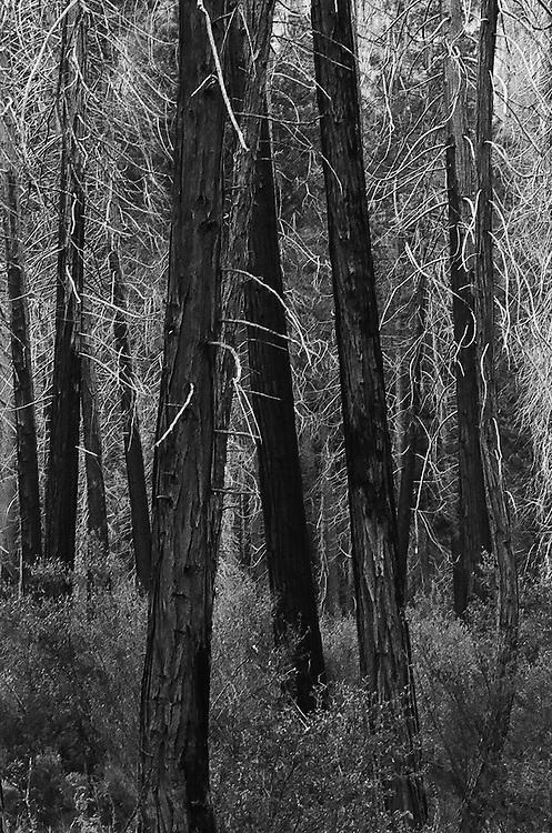 Trees, Yosemite NP, Ca. 35mm Image on Ilford Delta 100 Film