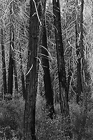 Trees, Yosemite NP, Ca. 35mm Image on Ilford Delta 100 Film