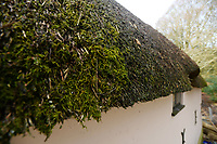 BNPS.co.uk (01202 558833)<br /> Pic: ZacharyCulpin/BNPS<br /> <br /> PICTURED: The roof is thatched sections over the years, rather than doing it all in one go. This is to allow the rare 'thatch moss' that grows on the roof to migrate to the newly thatched areas.<br /> <br /> Master thatcher Scott Symonds puts the finishing touches to the new straw roof at the former home of Victorian author Thomas Hardy.<br /> <br /> The National Trust, which owns the picturesque cottage near Dorchester, Dorset, has closed the historic property for more than a month while it undergoes vital conservation work.<br /> <br /> On the inside new structural supports have been installed and the stone floor repointed after taking a battering from thousands of visitors over the years.<br /> <br /> And on the outside the roof has been re-thatched by Scott and his dad Dave who even appeared was an extra in the 2015 film adaptation of Hardy's Far From the Madding Crowd.