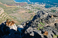 Rock Hyrax (Procavia capensis)  bask on the rocks of Table Mountin overlooking Cape Town, South Africa.