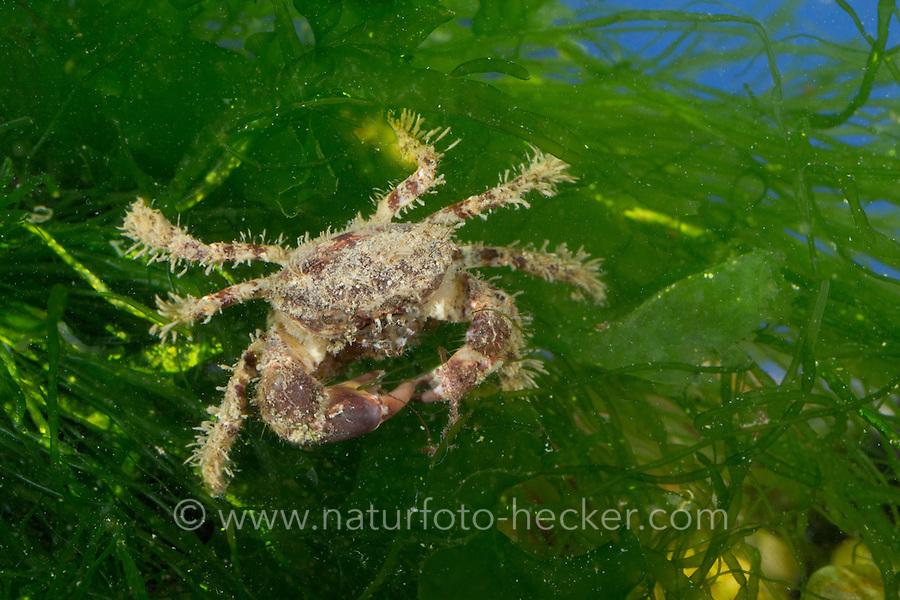Europäische Borstenkrabbe, Borsten-Krabbe, Haarkrabbe, Pilumnus hirtellus, bristly crab, hairy crab, hairy black crab, bristly xanthid crab, Pilumne hirsute, Crabe pileux, crabe velu, crabe poilu, crabe poilu brun, crabe rouge poilu