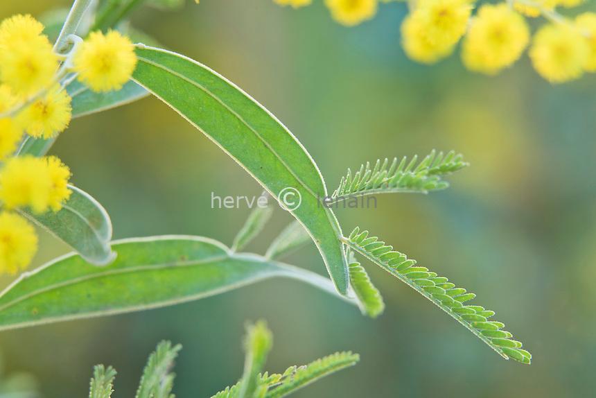 Acacia X hanburyana, mimosa caractéristique avec ses feuilles mi-simple & mi-composées, chimère entre Acacia podalyriifolia et Acacia dealbata // Acacia X hanburyana, leaves with typical mid-single & semi-composed, chimera between Acacia podalyriifolia and Acacia dealbata