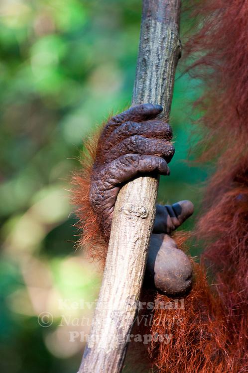 A close up of the foot of a Bornean Orangutan  (Pongo pygmaeus) - Tanjung Puting National Park, Central Kalimantan Indonesia.