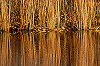 Reeds and grass reflecting in lake