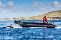 Peale's dolphin, Lagenorhynchus australis, adult, bow-riding, New Island, Falkland Islands, South Atlantic Ocean