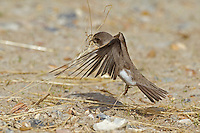 Sand Martin Riparia riparia - Collecting nesting material. L 12cm. Typically seen hawking for insects over water, sometimes even picking them off surface. Sexes are similar. Adult has sandy brown upperparts and mainly white underparts with brown breast band. Tail is short and forked. Juvenile is similar but has pale margins to back feathers. Voice Utters range of rasping twitters. Status Widespread summer visitor. Nests colonially, excavating burrows in sandy banks beside rivers and sand and gravel quarries.