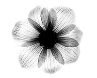 Xray Dahlia blossom