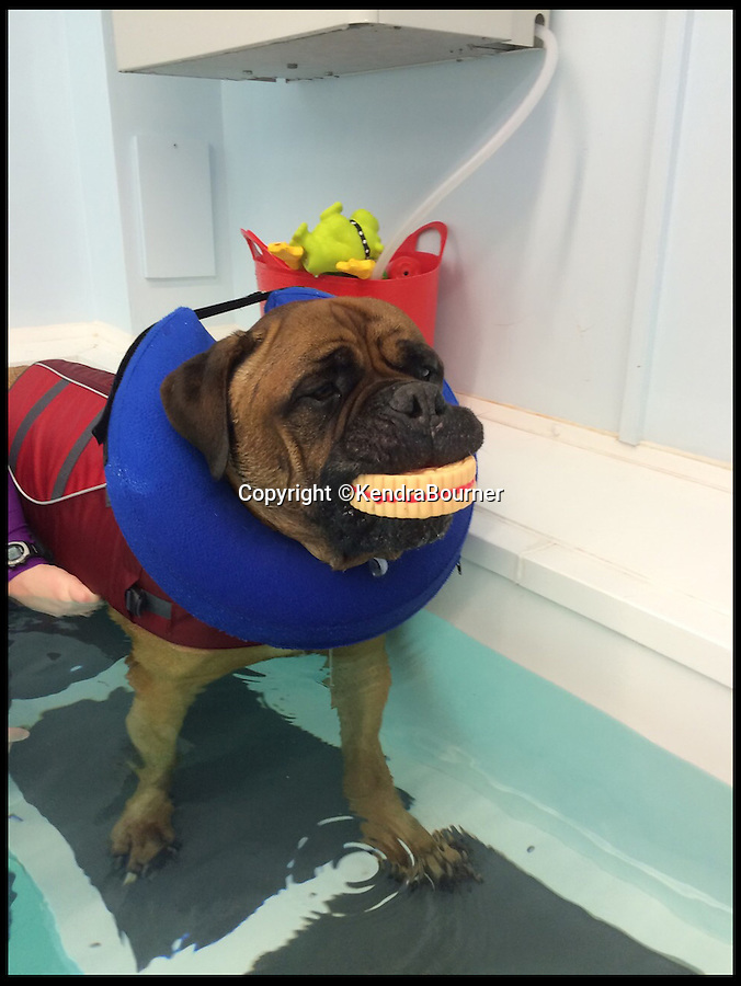 BNPS.co.uk (01202 558833)<br /> Pic: KendraBourner/BNPS<br /> <br /> *Please use full byline*<br /> <br /> Swim yourself thin... A greedy mastiff has swum himself into shape after staff at a hydrotherapist in Wilton, Wiltshire, hit upon the idea of a trail of cakes to encourage the portly pooch.