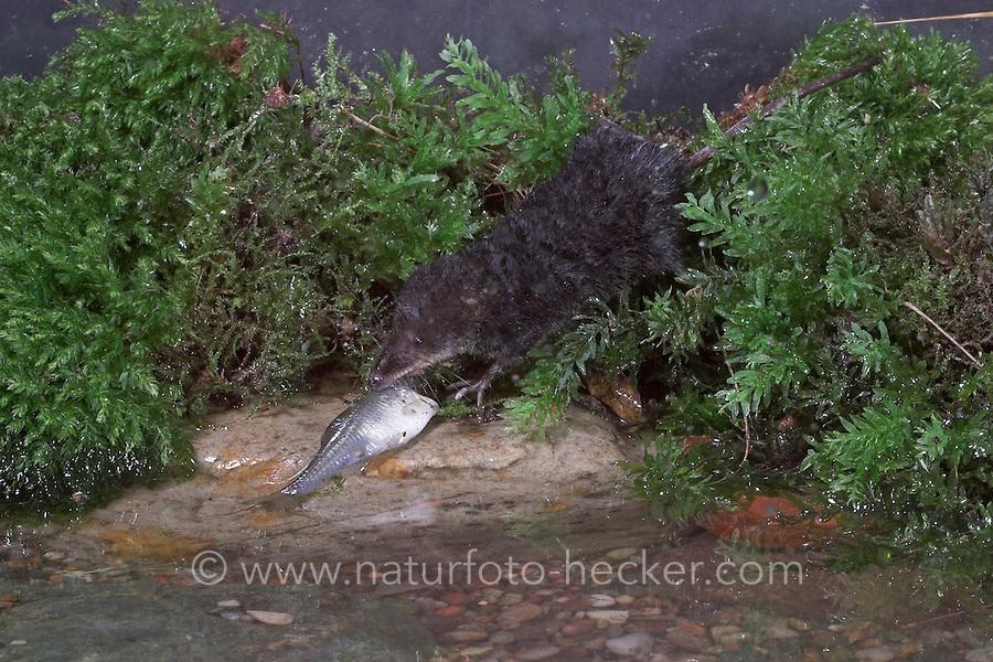 Wasserspitzmaus, mit erbeutetem Fischchen, Wasser-Spitzmaus, Spitzmaus, Neomys fodiens, Water shrew, Musaraigne aquatique, Crossope