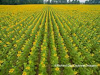 63801-11319 Sunflower field-aerial Jasper Co.  IL