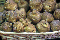 Root vegetables Jerusalem artichokes Helianthus tuberosus picked harvested in basket food crop