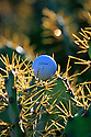 A golf ball nestles in a cactus by the side of the fairway at Vale do Pinta Golf, Portugal.....