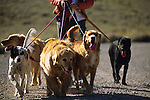 A young woman walks a group of dogs in Jackson Hole, Wyoming.
