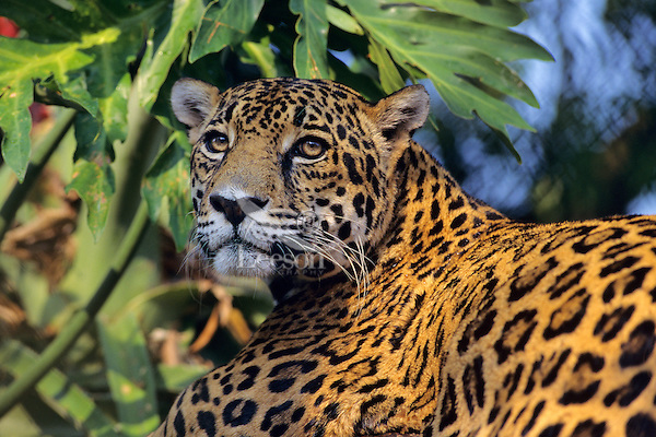 Jaguar (Panthera onca).  Central America.