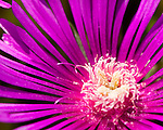 Closeup of an aster (flower).