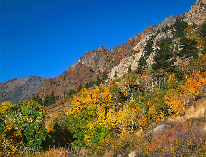 742900062 aspens populus tremuloides in golden fall color line  lundy canyon in the eastern sierras in mono county california