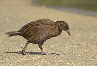Weka - Gallirallus australis