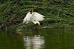 Snowy Egret Hunting Close Portrait Sepulveda Wildlife Refuge Southern California