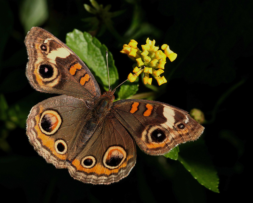 The Buckeye Butterfly is one I always look forward to seeing in late-spring through early summer because of its colorful, easy-to-recognize markings.