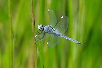 389220014 a wild male comanche skimmer libellula comanche perches on a reed near a lake in yuma county arizona