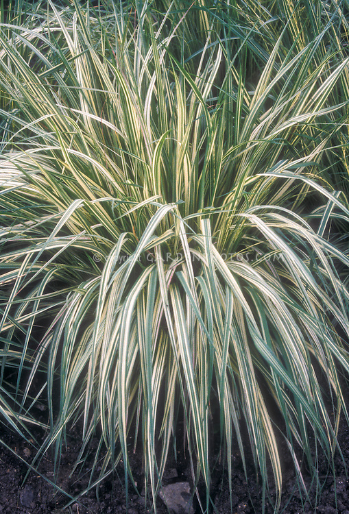 Short Ornamental Grass Ornamental grass stock photo images images plant flower stock molinia caerulea variegata ornamental grass workwithnaturefo