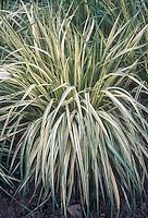 Molinia caerulea 'Variegata' ornamental grass