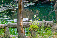 2017-08-03_Urban Wildlife_Beaver