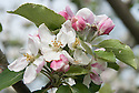 """Blossom of Apple 'Bloody Ploughman', early May. An old Scottish dessert apple from the fruit growing area known as Carse of Gowrie on  the north shore of the Firth of Tay between Perth and Dundee. """"Reputedly takes its name from ploughman who was caught stealing Megginch estate apples and shot by gamekeeper. His wife got the bag of apples, but she threw them on a rubbish heap and one of the seedlings that emerged was rescued by workman and subsequently named."""" (The New Book of Apples by Joan Morgan and Alison Richards)"""