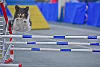 CNY Shetland Sheepdog Cub Winter Agility Jan 16 to 18 2015