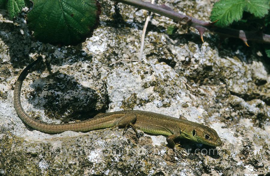 Smaragdeidechse, Smaragd-Eidechse, Östliche Smaragdeidechse, Jungtier, Lacerta viridis, green lizard, emerald lizard, Griechenland