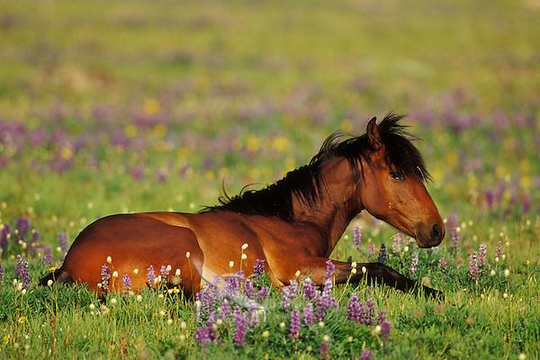Wild Horse resting among wildflowers.  Western U.S., summer..(Equus caballus)