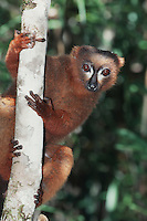 Red-bellied Lemur (Eulemur rubriventer), adult in tree, Madagascar, Africa
