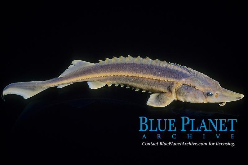 beluga sturgeon, European sturgeon, Huso huso, specimen, freshwater, critically endangered species, Bolgogradski, Russia